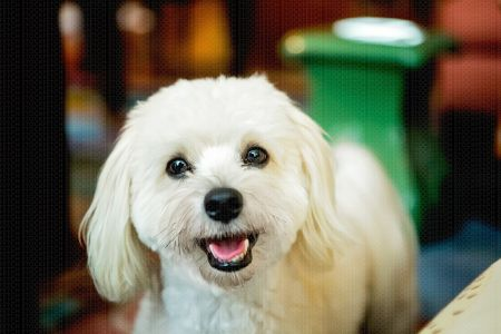 Havanese Stock Dog Photo // Fetch Stock by Jamie Piper.