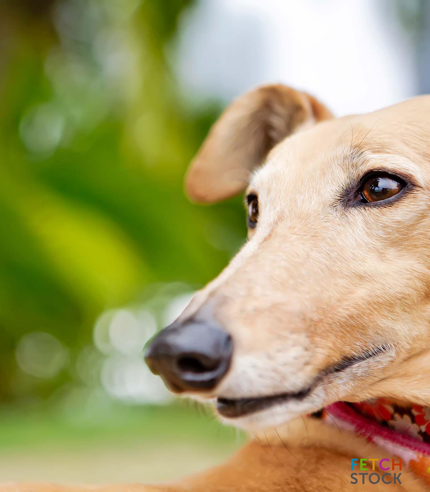 Fetch Stock Stock Greyhound Dog Photo