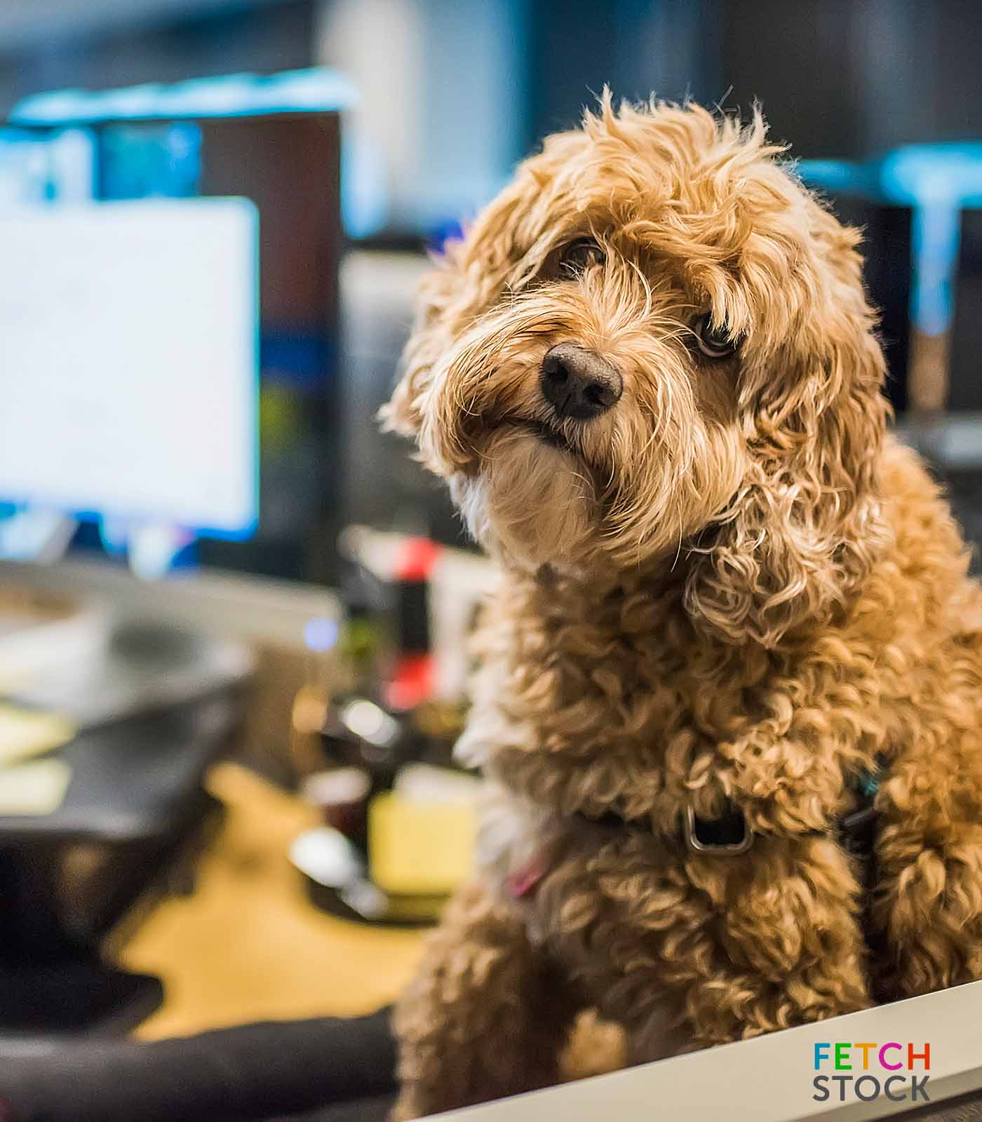Poodle mix dog tilting it's head in an office environment