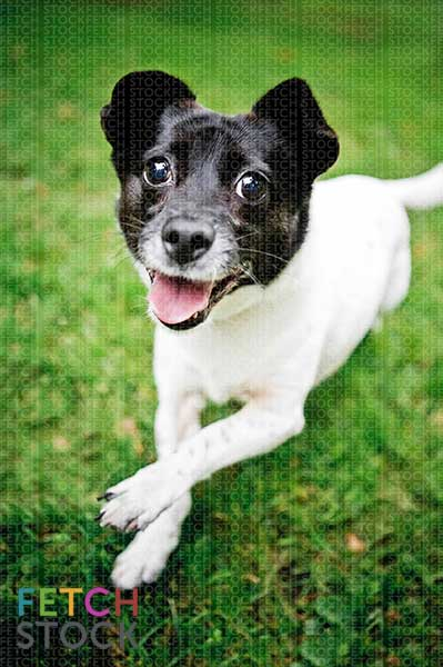 stock dog photo • smiling black and white jack russell terrier running through grass by fetch stock