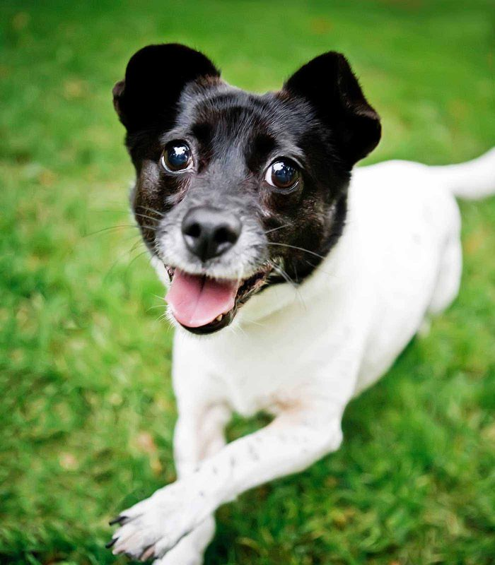 Fetch Stock happy Jack Russell Terrier mix stock dog photo by Jamie Piper