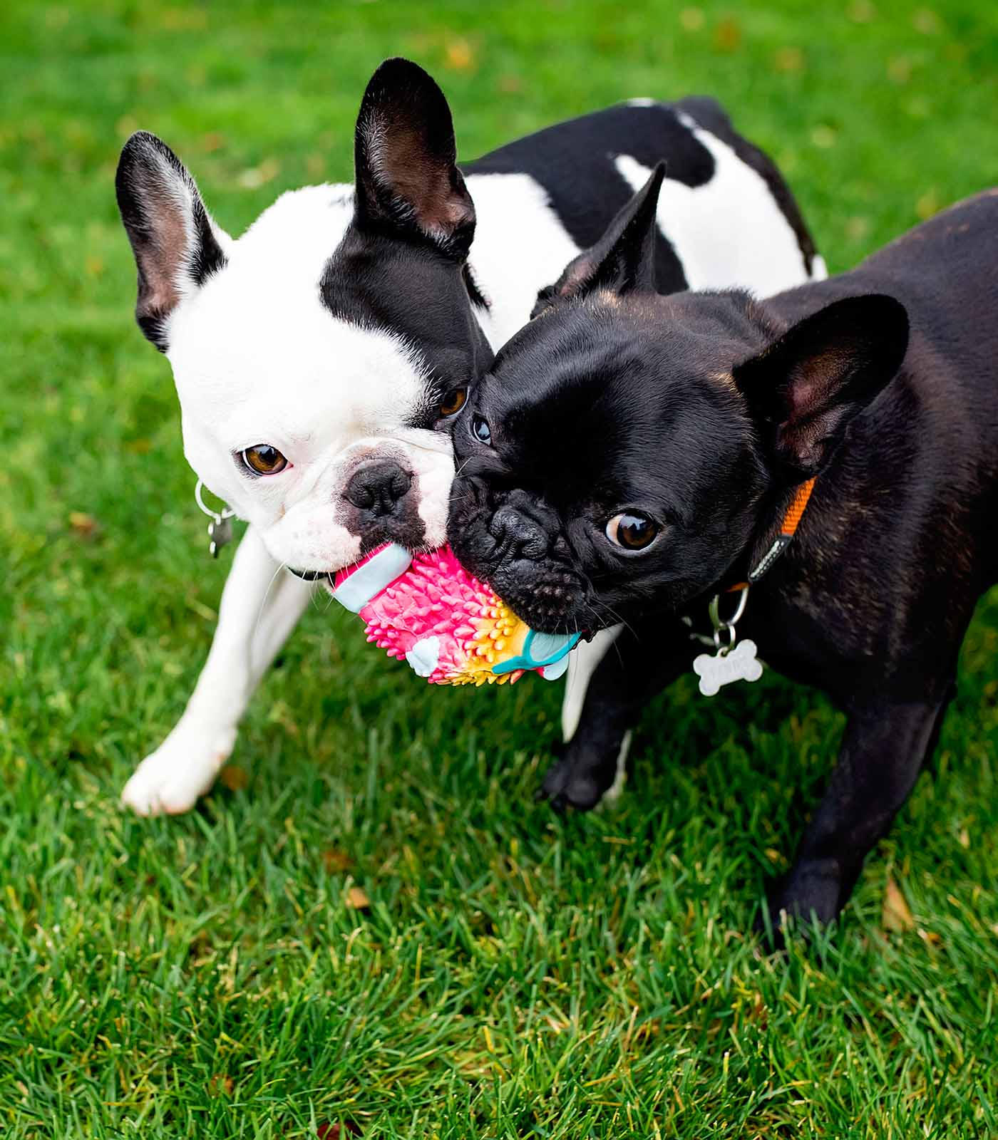 Fetch Stock Frenchies sharing ball stock dog photo by Jamie Piper