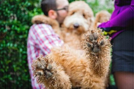 Fetch Stock Goldendoodle cuddle stock dog photo by Jamie Piper