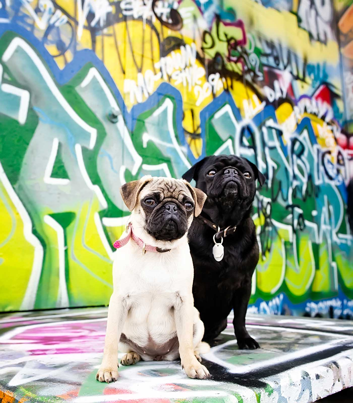 Fetch Stock graffiti Pug pair stock dog photo by Jamie Piper