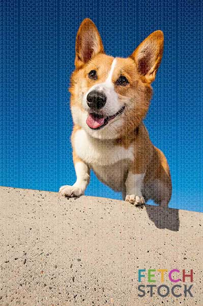 stock dog photo • smiling corgi dog standing on wall with deep blue sky by Jamie Piper • text-friendly