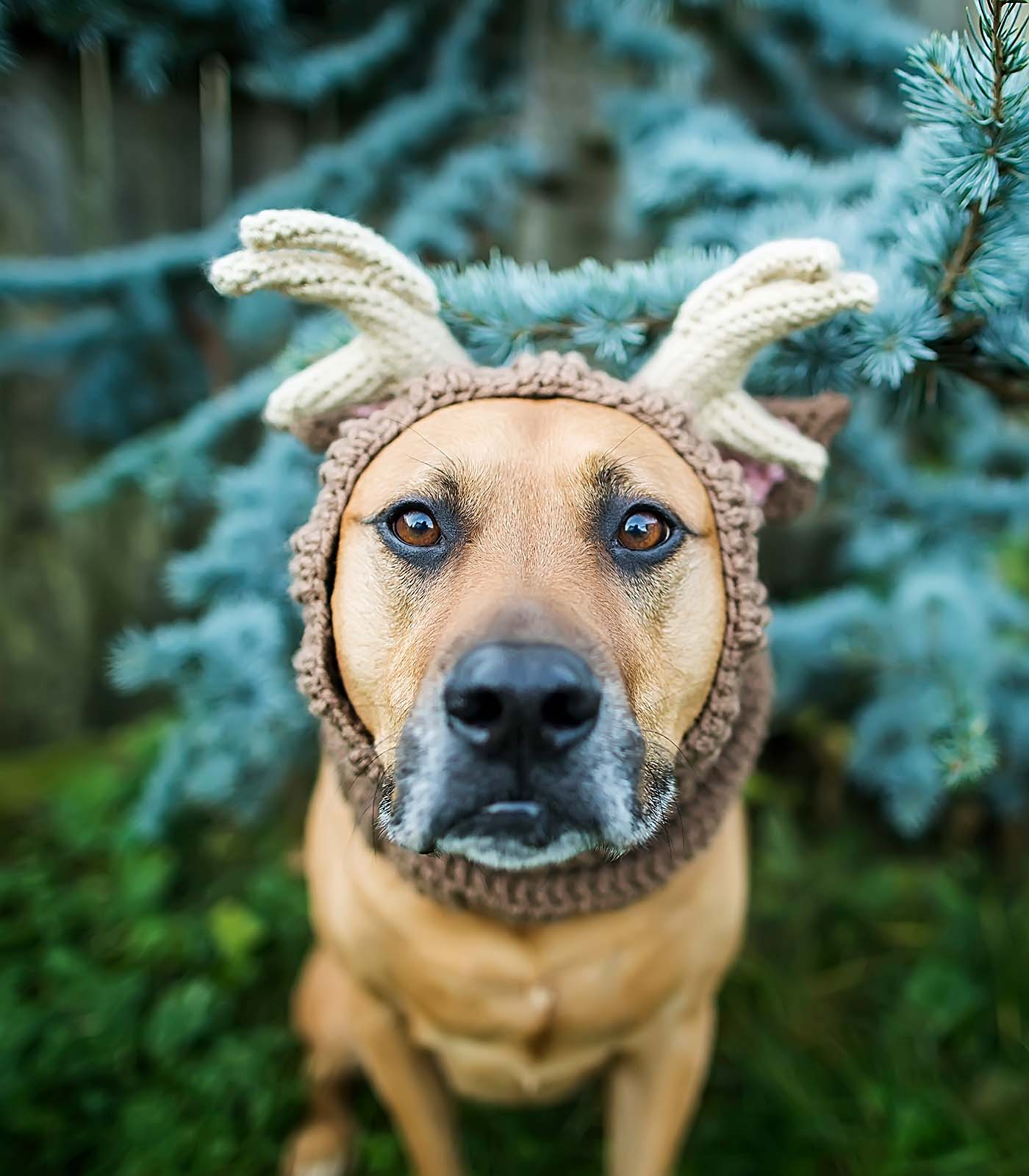 Fetch Stock Lab Mix in Reindeer antlers snood stock dog image by Jamie Piper