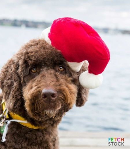 Chocolate_Labradoodle_in_marina_santa_hat_thumb