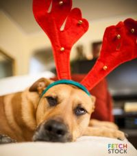 Bored Labrador Dog Merry Christmas Antlers